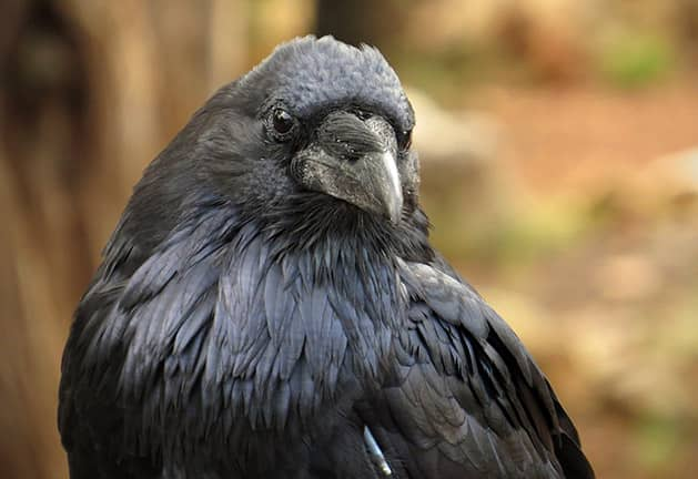 Ravn - foto Josefine Stenudd - CC BY-NC-ND 2.0 https://creativecommons.org/licenses/by-nc-nd/2.0/deed.da